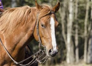 Åsa Bjuhrs häst - porträtt